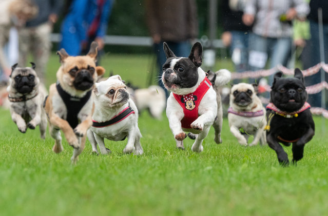Pugs and French bulldogs run on a grass pitch during the 8th Southern German pug and bulldog race in Wernau, southern Germany, 02 September 2018. (Photo by Daniel Maurer/EPA/EFE)