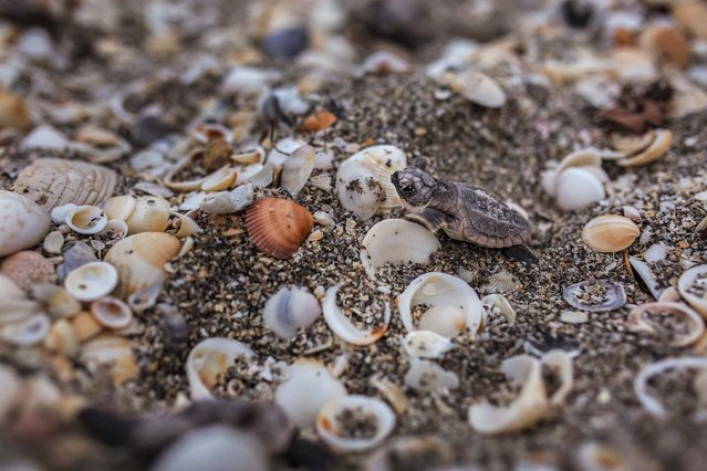 A loggerhead hatchling crawls over shells as it makes its way to the ocean after hatching on the beach in Coral Cove Park in Tequesta. (Photo by Greg Lovett/The Palm Beach Post)