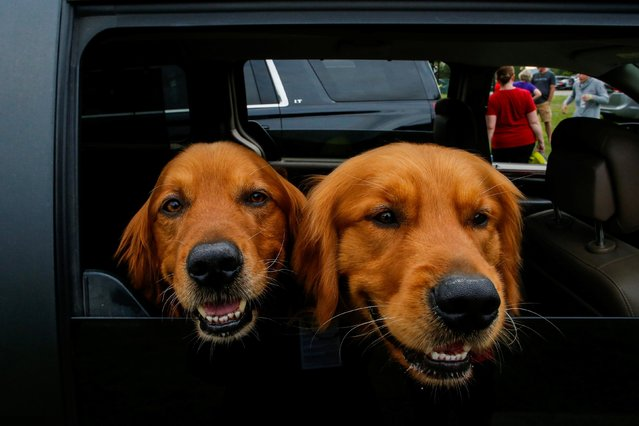 Obie (R) and Gus, two Golden Retriever pose for a picture inside of a car during the 145th Westminster Kennel Club Dog Show at Lyndhurst Mansion in Tarrytown, New York, U.S., June 11, 2021. (Photo by Eduardo Munoz/Reuters)