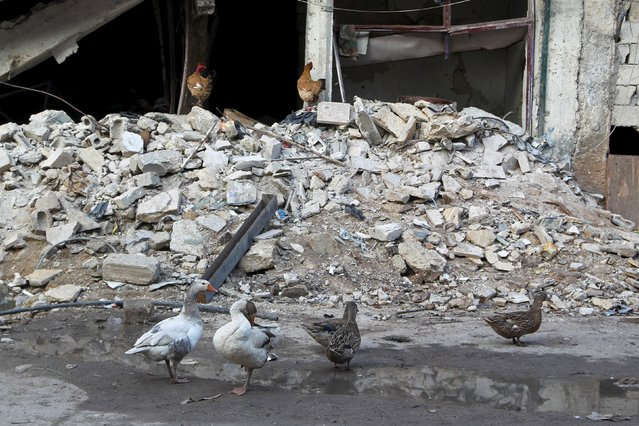 Poultry are seen near the rubble of damaged buildings in al-Myassar neighborhood of Aleppo, Syria January 31, 2016. (Photo by Abdalrhman Ismail/Reuters)