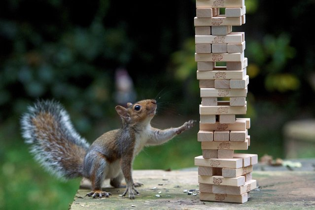This inquisitive squirrel gatecrashes a game of Jenga – and knocks down the tower that took a family half an hour to build. (Photo by Max Ellis/Solent News & Photo Agency)