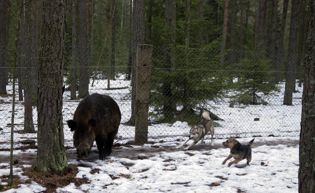 Dogs follow a wild boar during a training session for dogs at a base of the Belarussian Society of Hunters and Fishermen near the town of Rakov, Belarus, February 9, 2016. (Photo by Vasily Fedosenko/Reuters)