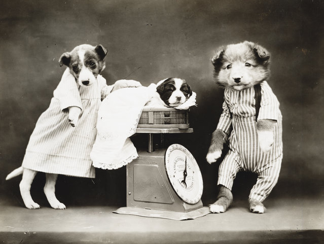 Photograph shows a three puppies with a scale, 1914. (Photo by Harry Whittier Frees/Library of Congress)