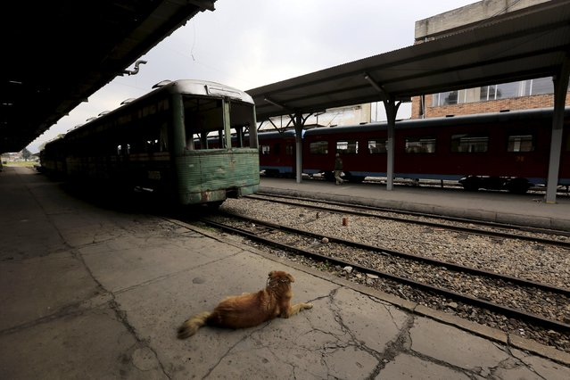 A dog stands close a recently bought  train car parked next to the Turistren   in Bogota March 2, 2015. (Photo by Jose Miguel Gomez/Reuters)