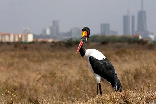 A saddle-billed stork stands in the grassland at the Nairobi National Park near Nairobi, Kenya January 23, 2017. (Photo by Thomas Mukoya/Reuters)