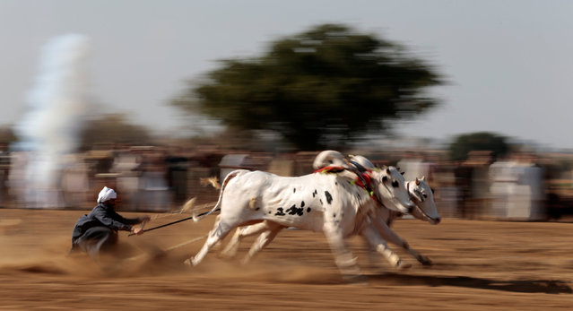 A bull savar (jockey) guides his bulls as he competes in a bull race in Pind Sultani, Pakistan January 31, 2017. (Photo by Caren Firouz/Reuters)