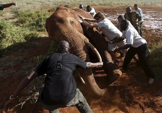 Kenya Wildlife Service and Save The Elephants staff push an elephant as they undertake the collaring of ten elephants ranging near the Standard Gauge Railway to fit them with advanced satellite radio tracking collars in Tsavo National Park, Kenya March 15, 2016. (Photo by Goran Tomasevic/Reuters)