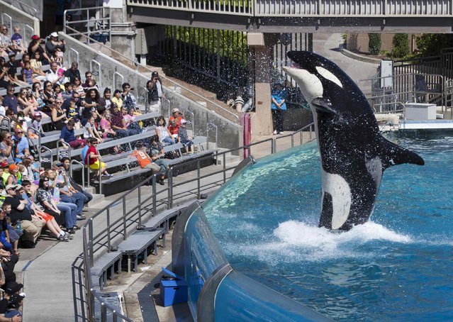 Visitors are greeted by an Orca killer whale as they attend a show featuring the whales during a visit to the animal theme park SeaWorld in San Diego, California March 19, 2014. Bowing to years of pressure from animal rights activists, U.S theme park operator SeaWorld said on Thursday it would stop breeding killer whales and that those currently at its parks would be the last. (Photo by Mike Blake/Reuters)