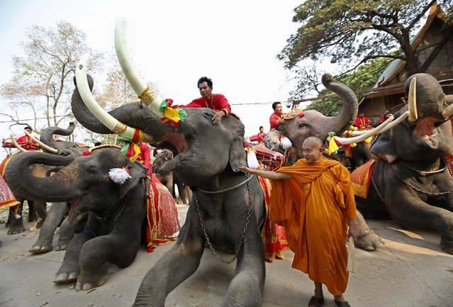 A Thai Buddhist monk blesses elephants and mahouts during an all-you-can-eat elephant buffet held to mark the National Elephant Day at the ancient historical city of Ayutthaya, Thailand, 13 March 2014. (Photo by Rungroj Yongrit/EPA)