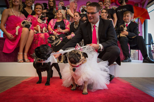 Rescued pugs, Jasper and Jasmine, with owner Matt Roe and the entire wedding party  at the West Beach Bathers Pavilion on May 17, 2015 in Melbourne, Australia. The wedding is a fundraiser for Pug Rescue & Adoption Victoria, the organisation that rescued and rehabilitated Jasper and Jasmine in 2013. (Photo by Chris Hopkins/Getty Images)