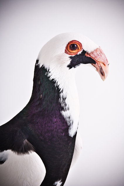Scandaroon. Darwin's Pigeons series. (Photo by Photo by Richard Bailey/Caters News)
