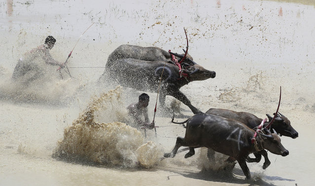 Thai farmers controlling their buffaloes compete in the flooded field during the annual Wooden Plow Buffalo Race in Chonburi Province, southeast of Bangkok, Thailand, Saturday, July 13, 2019. Farmers in eastern Thailand on Saturday celebrated the start of the sowing season by racing their buffaloes, whose usual duty is to plow the fields. The annual Wooden Plow Buffalo Race in Chonburi, about 60 kilometers (37 miles) southeast of Bangkok, is held to express gratitude to the buffaloes for working for the farmers all year long.  (Photo by Sakchai Lalit/AP Photo)