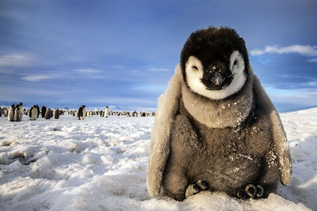The cute emperor penguin in Antarctica. (Photo by Caters News)