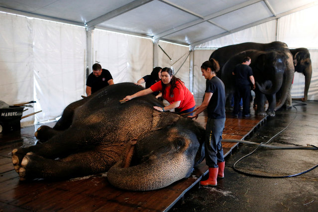 """Elephant handlers clean and wash an elephant in preparation for their activities and performances for the day at Ringling Bros and Barnum & Bailey Circus' """"Circus Extreme"""" show at the Mohegan Sun Arena at Casey Plaza in Wilkes-Barre, Pennsylvania, U.S., April 30, 2016. (Photo by Andrew Kelly/Reuters)"""