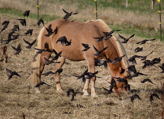 An Iceland horse is surrounded by starlings as it grazes on the meadow of a stud in Wehrheim near Frankfurt, central Germany, Thursday, September 5, 2019. (Photo by Michael Probst/AP Photo)