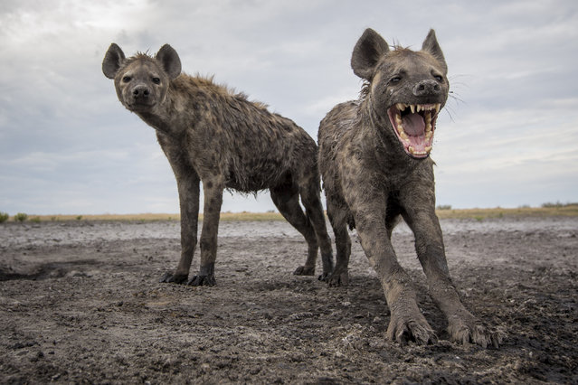 Two spotted hyenas Liuwa Plain National Park. (Photo by Will Burrard-Lucas/Caters News Agency)