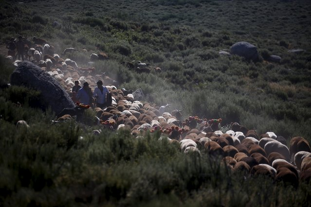 Shepherds direct their herd as they migrate to summer pastures in Serra da Estrela, near Seia, Portugal June 27, 2015. (Photo by Rafael Marchante/Reuters)