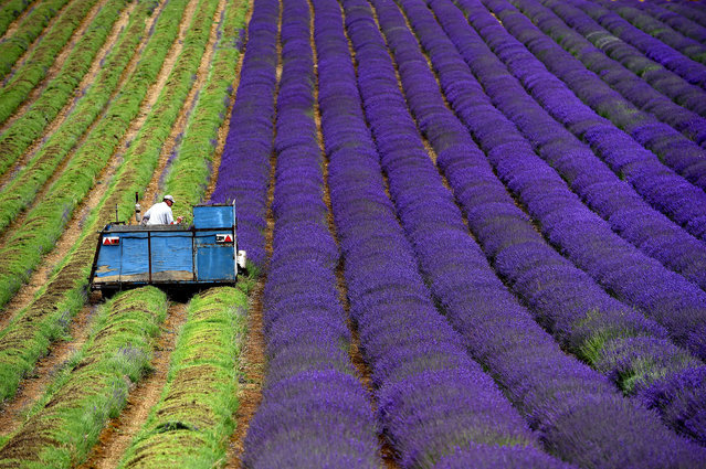 A tractor makes its way along a row of lavender plants as they are harvested on the Lordington Lavender farm in West Sussex, southern England, Tuesday, July 14, 2015. (Photo by Andrew Matthews/PA Wire via AP Photo)