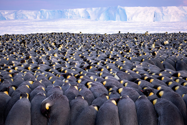 Wildlife Photographer of the Year portfolio award winner: The Huddle by Stefan Christmann, Germany. More than 5,000 male emperor penguins huddle against the wind and late winter cold on the sea ice of Antarctica's Atka Bay, in front of the Ekström ice shelf. Each paired male bears a precious cargo on his feet – a single egg – tucked under a fold of skin as he faces the harshest winter on Earth. The females entrust their eggs to their mates to incubate and then head for the sea, where they feed for up to three months. (Photo by Stefan Christmann/2019 Wildlife Photographer of the Year)