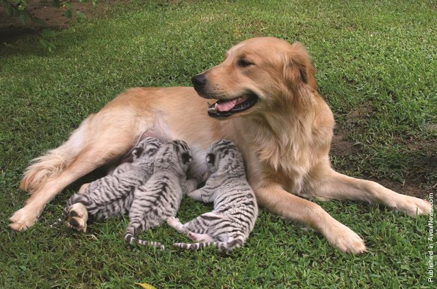 Isabella, a golden retriever in Kansas who adopted three white Bengal tiger cubs and nursed them as her own. The tiger cubs – Nasira, Anjika and Sidani – needed somewhere to turn because their mother stopped nursing them 15 hours after their birth. Zookeepers Tom and Allie Harvey brought the cubs home, and their dog Isabella stepped right up