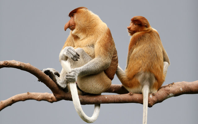 A male proboscis monkey (L) turns to look at a female (R) over his shoulder seated high on a tree branch in Tanjung Puting National Park, in Kalimantan (Indonesian Borneo), Indonesia, September 2, 2013. (Photo by Barbara Walton/EPA)