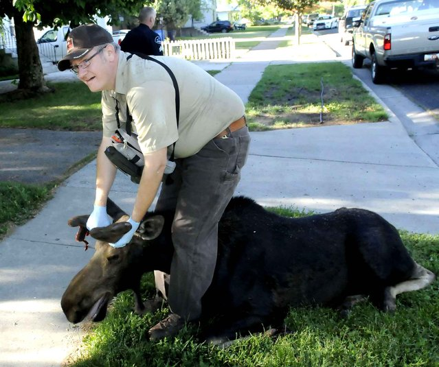 Darren DeBloois stands over a moose after he tranquilized it after it was found in a Logan, Utah neighborhood on Monday, June 30, 2014. (Photo by Eli Lucero/AP Photo/The Herald Journal)
