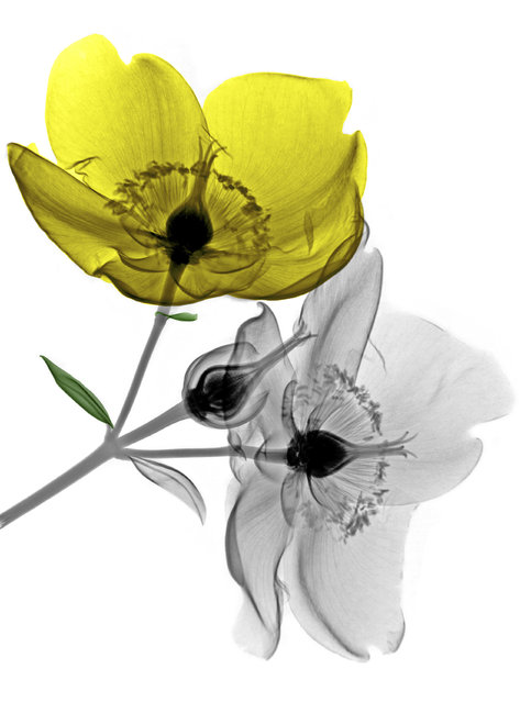 Coloured X-ray of Hypericum flowers. A physicist has used X-ray to create an extraordinary collection of artwork. Arie van't Riets pictures reveal birds, fish, monkeys and flowers in an incredible new light. The 66-year-old, from Bathmen in the Netherlands, began X-raying flowers as a means to teach radiographers and physicians how the machine worked. But after adding a bit of colour to the pictures, the retired medical physicist realised the potential for an exciting new collection of art. (Photo by Arie van't Riet/Barcroft Media)