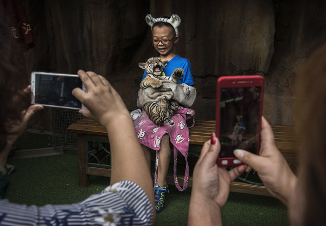 A Chinese boy wears protective gloves as he holds a baby Siberian tiger as they pose for pictures at the Heilongjiang Siberian Tiger Park on August 16, 2017 in Harbin, northern China. (Photo by Kevin Frayer/Getty Images)