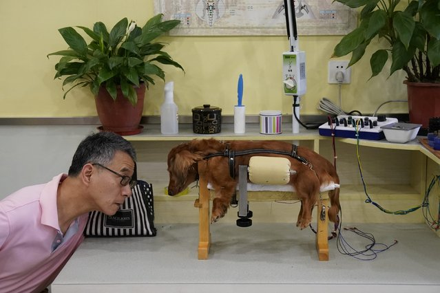 "Specialist Jin Rishan said about 80 percent of their patients have shown some improvement after treatment. ""Making a paralyzed and dependent dog stand up is our ultimate goal"", Jin said. (Photo by Aly Song/Reuters)"