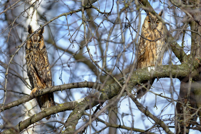 A couple of long-eared owls (Asio otus) perch on a tree near the munincipality of Hortobagy, northeastern Hungary, 06 January 2020. The long-eared owl is the most widely recognised and most common species of owl in Hungary, where it was elected Bird of the Year 2020 through public voting held by the Hungarian Ornithological and Nature Conservation Society (MME). (Photo by Zsolt Czegledi/EPA/EFE)