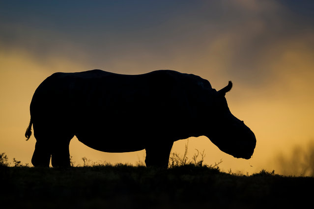 Thandi, the female white rhino who lost her horn to poachers, has become a symbol of survival in the fight against rhino poaching. (Photo by Neil Aldridge/Photographers Against Wildlife Crime/Wildscreen/The Guardian)