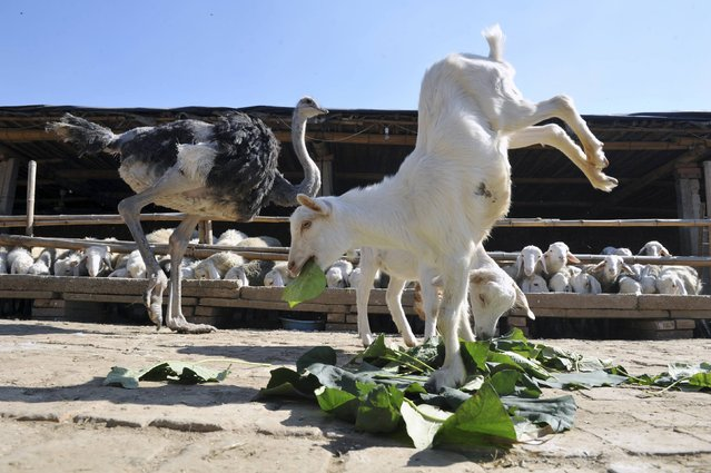 A goat stands on its two front legs as it eats leaves beside an ostrich in Shijiazhuang, Hebei province of China October 11, 2012. The 8-month-old goat, which was born with two deformed hind legs, learnt to walk with only its front legs three days after birth, local media reported. (Photo by China Daily/Reuters)