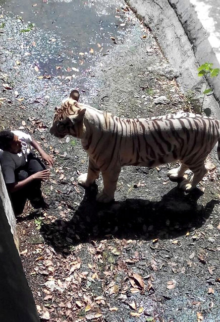 In this handout photograph received from the Delhi Police at the scene of the incident, an Indian schoolboy is confronted by a white tiger inside its enclosure at the Delhi Zoo in New Delhi on September 23, 2014. A white tiger on September 23 attacked and killed a schoolboy who appeared to have jumped or fallen into its enclosure at the zoo in the Indian capital, witnesses said. (Photo by AFP Photo/Delhi Police)