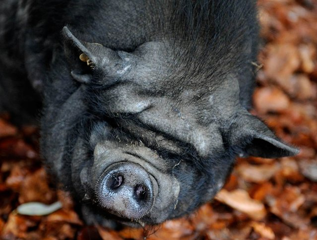 "A pot-bellied pig looks into the camera at ""Schwarze Berge"" animal park, in Rosengarten, Germany, on December 4, 2012. (Photo by Axel Heimken/AFP Photo)"