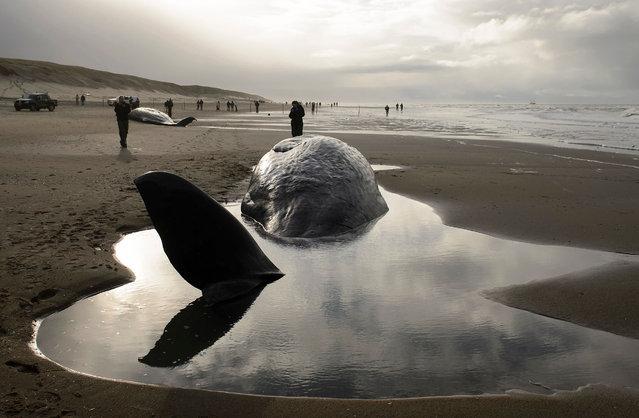 People stand near beached sperm whales on January 13, 2016, after they became stranded on the Dutch island of Texel the day before. Five sperm whales which became stranded on Texel have died, officials said January 13. Experts said the beached whales had already been badly injured and their chances of survival were poor. Volunteers tried to save them but called off their efforts late in the night because of bad weather and darkness, ANP news agency said. (Photo by Remko de Waal/AFP Photo/ANP)