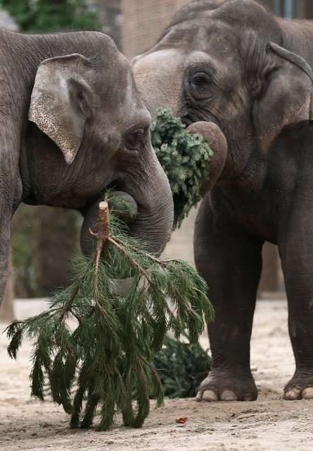 Elephants munch on Christmas trees in their enclosure at Berlin's Zoologischer Garten zoo on January 4, 2013 in Berlin, Germany. Traditionally, the animals get in the first week of the year leftover Christmas trees. (Photo by Andreas Rentz)