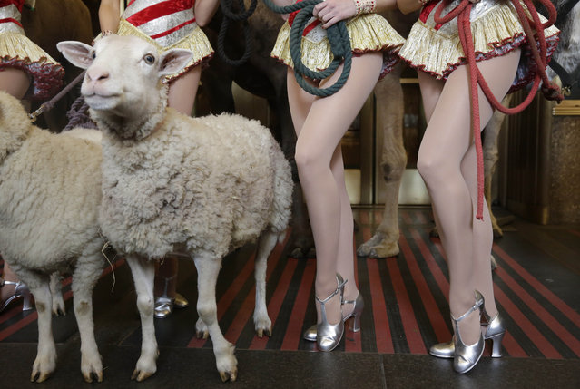 "The legs of camel and sheep for the ""Living Nativity"" scene, and Rockettes, of the ""Radio City Christmas Special"", are juxtaposed as they pose for photos outside New York's Radio City Music Hall, Tuesday, October 28, 2014. The show is scheduled to open Friday, November 7, 2014 and continue through Wednesday, December 31, 2014. The ""Living Nativity"" has been part of the Christmas Spectacular since its inception in 1933. (Photo by Richard Drew/AP Photo)"