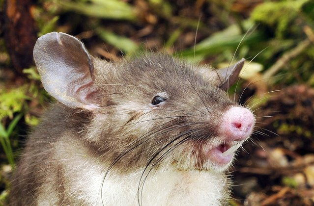 This undated handout photograph released by Australia's Museum Victoria on October 6, 2015, shows the hog-nosed rat, a new species of mammal named for its features that scientists said have never been seen before. The creature was found in a remote mountainous area on the island of Sulawesi in central Indonesia, according to Australia's Museum Victoria whose scientists were involved. (Photo by Museum Victoria/AFP Photo)