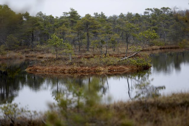 A general view of the Great Kemeri Bog, Latvia, October 17, 2015. (Photo by Ints Kalnins/Reuters)