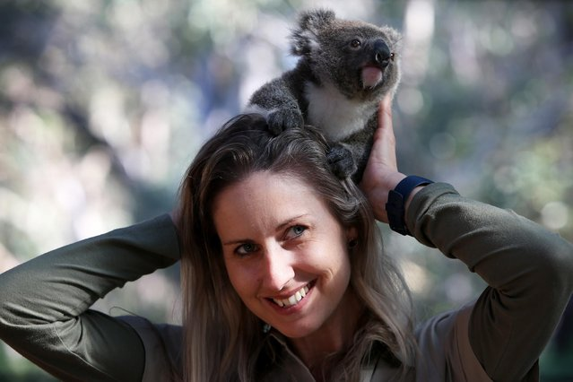 """Hayley Shute holds """"Ember"""" a male joey at the Australian Reptile Park on September 24, 2020 on the Central Coast, Australia. Park curator and koala carer of 18 years, Haley will hand raise Ember until he is 6 months of age due to his mothers illness . Nine koala joeys have been born as part of the Australian Reptile Park's conservation breeding program this year. The birth of the nine joeys has been celebrated by keepers, as they have been working to increase koala numbers in the wake of Australia's devastating bushfire season at the end of 2019 and early 2020 which saw tens of thousands of koalas perish and habitats destroyed. (Photo by Lisa Maree Williams/Getty Images)"""