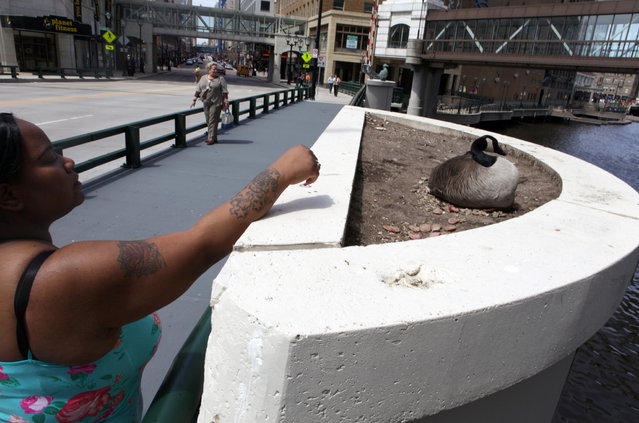 Bianca Chism, of Milwaukee feeds meat to a Canada goose that has taken up residence on near the Wisconsin Ave. Bridge on Tuesday, April 30, 2013. (Photo by Mike De Sisti)
