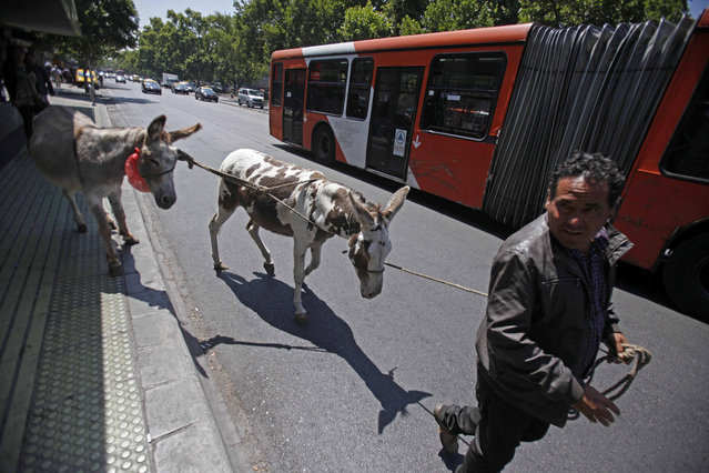 In this December 15, 2014 photo, Ricardo Alegria leads his donkeys past a public bus as he searches for customers to sell fresh milk in Santiago, Chile. Ricardo Alegria is a different sort of milk man. For a quarter century or more, he and his brother Marco have led donkeys through the streets of Chile's capital, milking them on the spot for customers. (Photo by Luis Hidalgo/AP Photo)