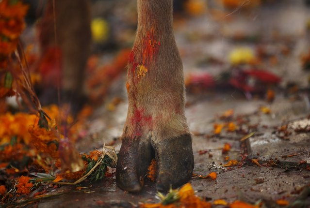 A cow hoof, smeared with vermilion powder, is pictured during a religious ceremony in Kathmandu, Nepal November 11, 2015. (Photo by Navesh Chitrakar/Reuters)