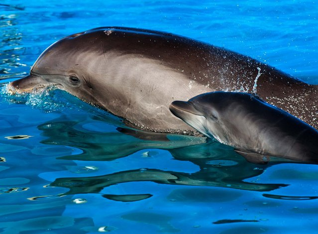 Cascade, a 29-year-old Atlantic bottlenose dolphin, swims with her newborn a calf at SeaWorld San Diego. (Photo by Mike Aguilera/SeaWorld San Diego Via Getty Images)
