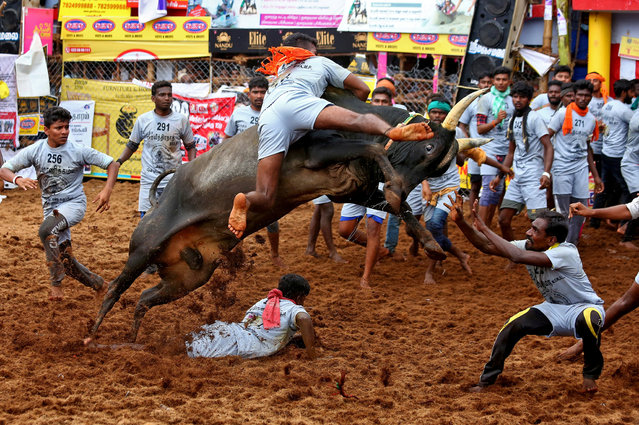 Villagers try to control a bull during a bull-taming festival, known as Jallikattu and is a part of south India's harvest festival of Pongal, on the outskirts of Madurai town, Tamil Nadu state, India on January 15, 2021. (Photo by P. Ravikumar/Reuters)