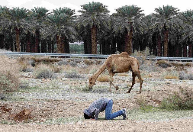 A Bedouin man prays near his camel in the Judean desert between Jericho and Jerusalem January 10, 2015. (Photo by Ammar Awad/Reuters)