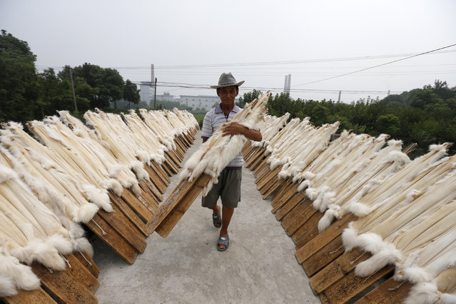 A worker carries wooden planks with raccoon dog fur to dry at a private fur workshop in Chongfu township, Zhejiang province September 13, 2013. (Photo by Reuters/Stringer)