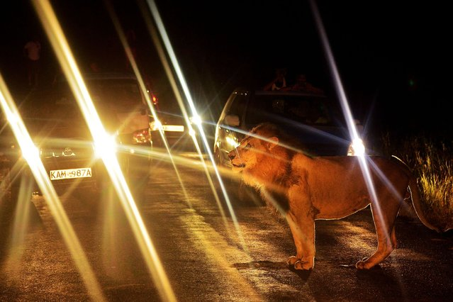 A lion walks past a queue of cars in Nairobi National Park, on July 15, 2013. (Photo by Carl De Souza/AFP Photo)