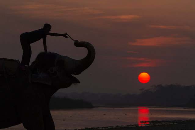 A Nepalese Mahut returns his elephant to shelter as the sun sets at Sauhara, Chitawan, some 154 kilometer from the capital of Kathmandu, Nepal, 28 December 2015. Chitwan district is the one of the most popular tourism area in Nepal. The 12th Chitawan Elephant Festival is organized to spread awareness about wildlife and promote tourism. (Photo by Hemanta Shrestha/EPA)