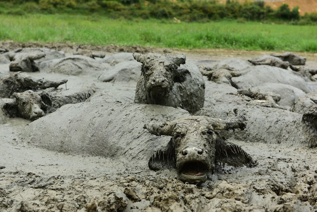 Buffaloes enjoy a mud bath in Enshi, Hubei Province, China on September 2, 2018. (Photo by  SIPA Asia/Rex Features/Shutterstock)